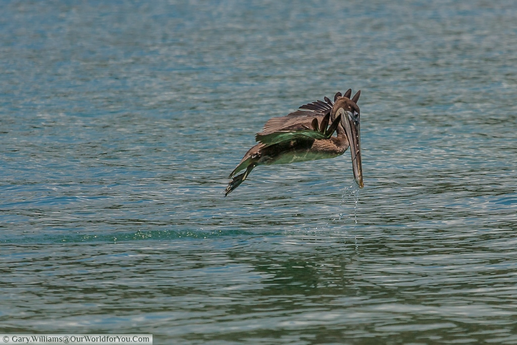 A Brown Pelican - Looking for lunch, Manuel Antinio, Costa Rica