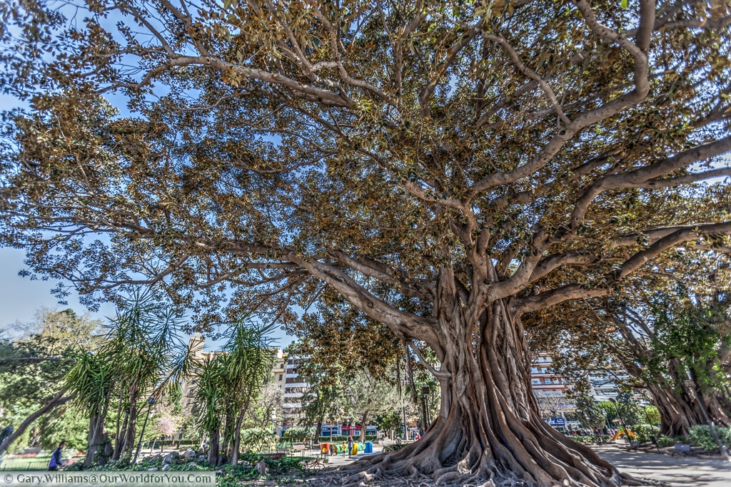 A Ficus Elastica in the Garden of the Glorieta, Valencia, Spain