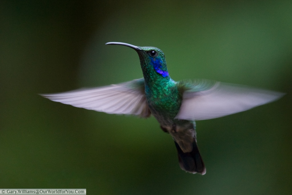 A Green Violet Ear hummingbird in flight, Costa Rica