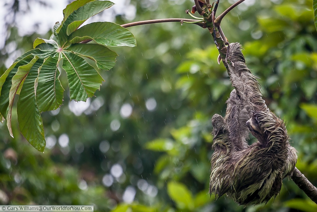 A close-up of our sloth contemplating the lush green leaves at the end of this branch, Tortuguero