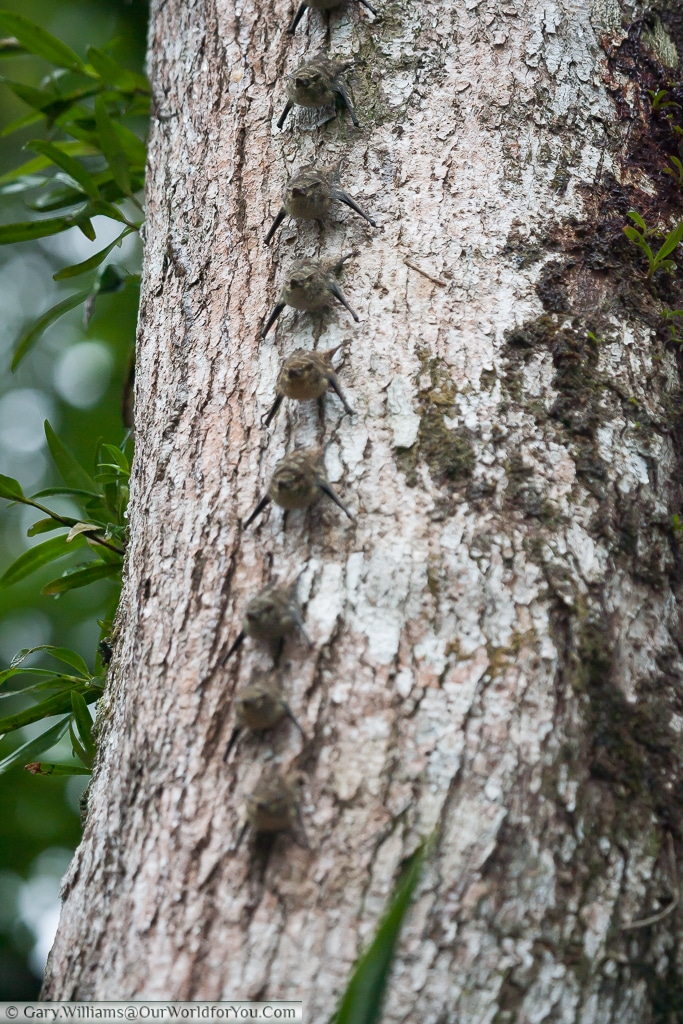 Long-nosed proboscis bats clinging to a tree in Tortuguero, Costa Rica