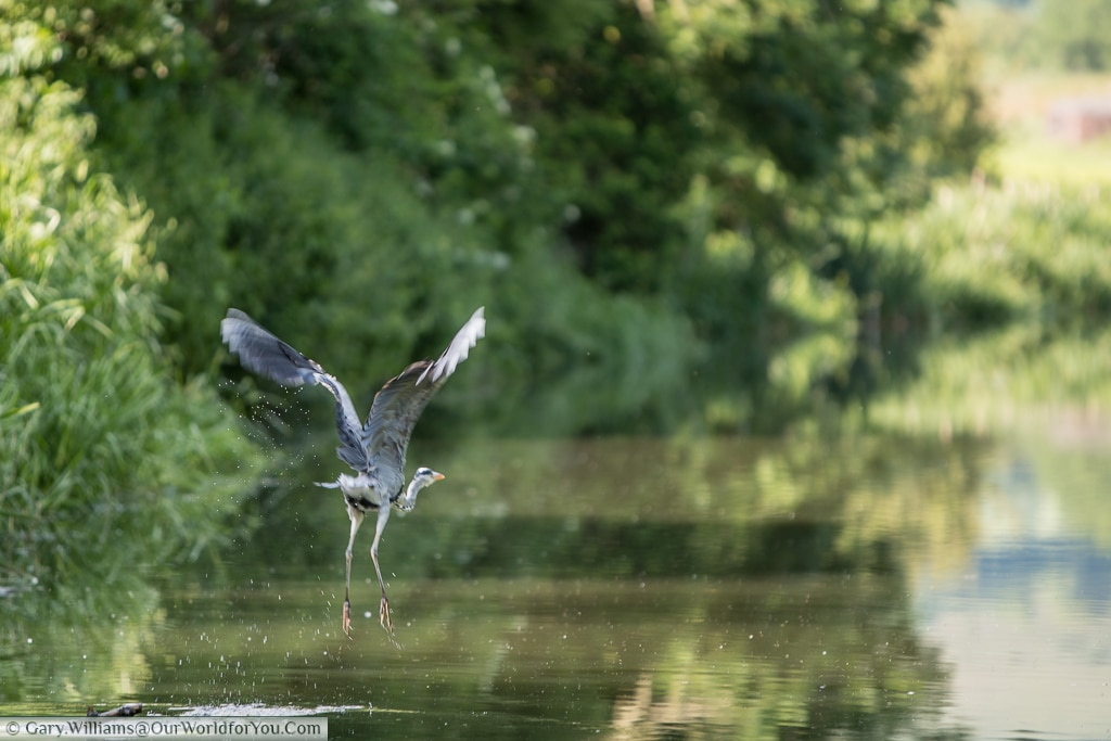 A heron takes flight over the Kennet & Avon Canal, England, United Kingdom