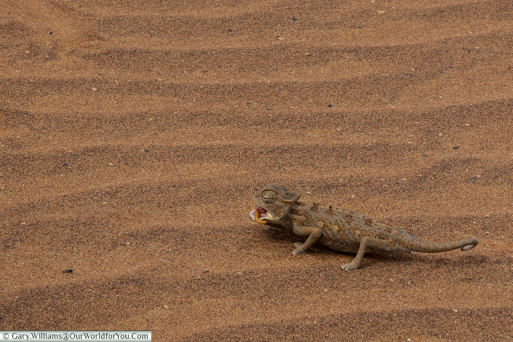 A Desert Chameleon scampering away with lunch, Living Desert Adventures, Walvis Bay, Swakopmund, Namibia