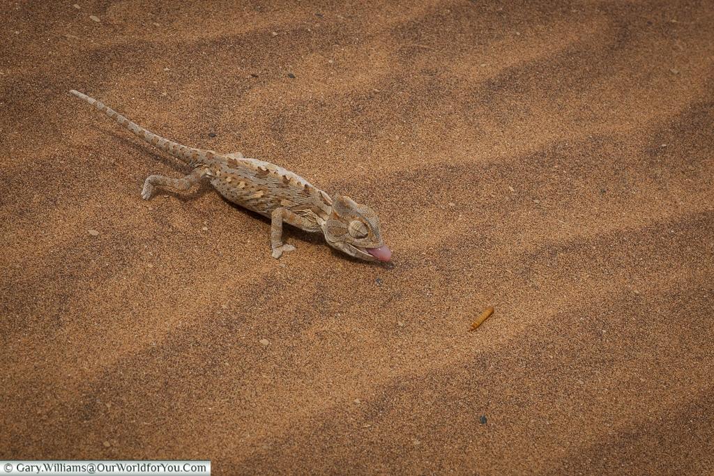 A Desert Chameleon stalking lunch, Living Desert Adventures, Walvis Bay, Swakopmund, Namibia