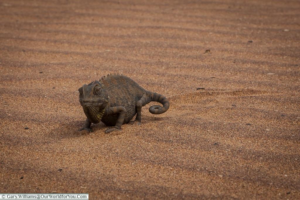 A Desert Chameleon ambling towards us, Living Desert Adventures, Walvis Bay, Swakopmund, Namibia