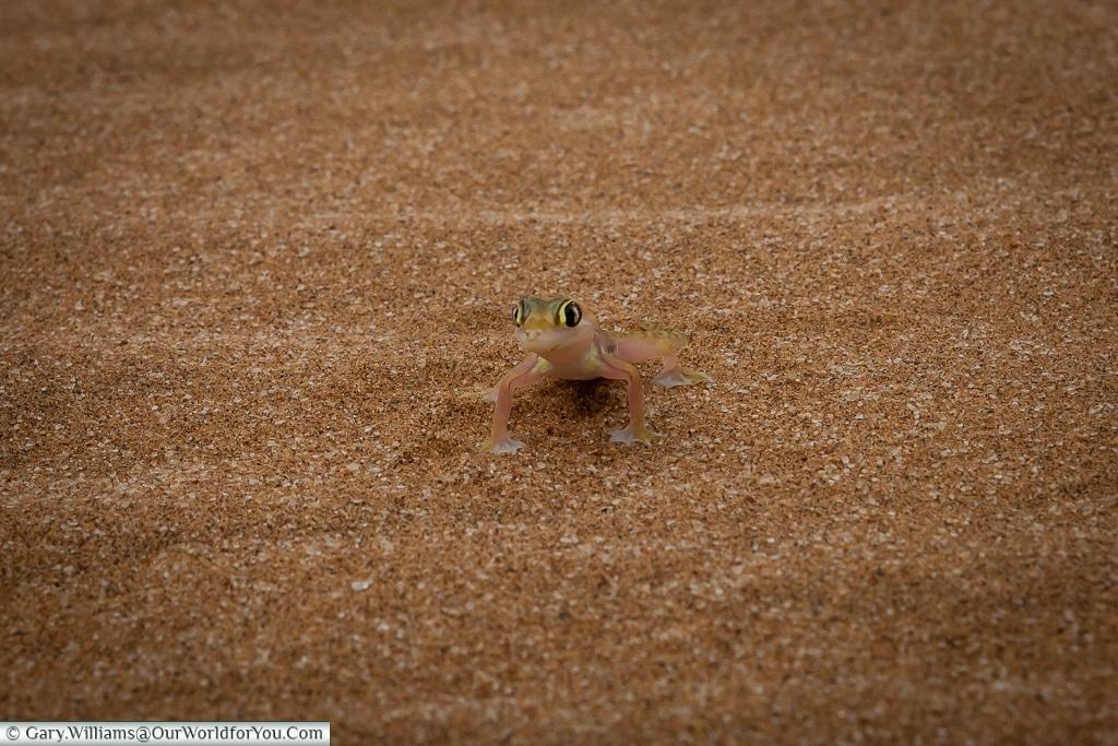 A Palmato Gecko or Namib sand gecko, Living Desert Adventures, Walvis Bay, Swakopmund, Namibia