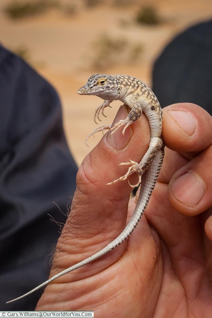 A Reticulated Desert lizard,Living Desert Adventures, Walvis Bay, Swakopmund, Namibia
