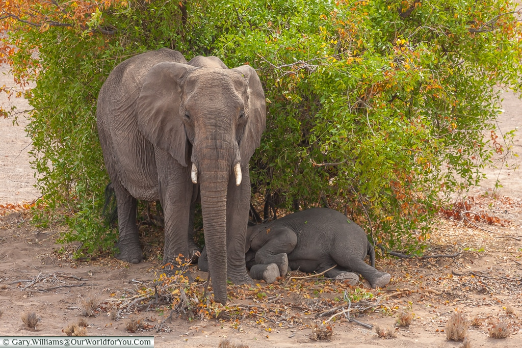 A mother protecting her young, desert elephants, Kunene Region, Namibia