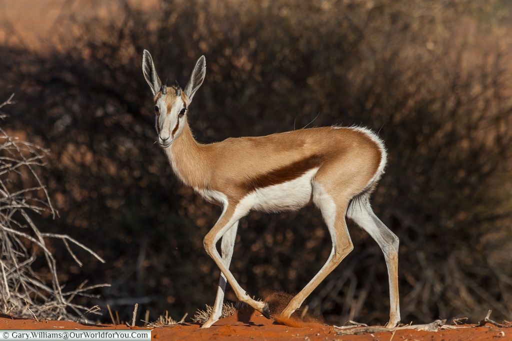 A young springbok, Morning Game Drive, Bagatelle Kalahari Game Ranch, Namibia