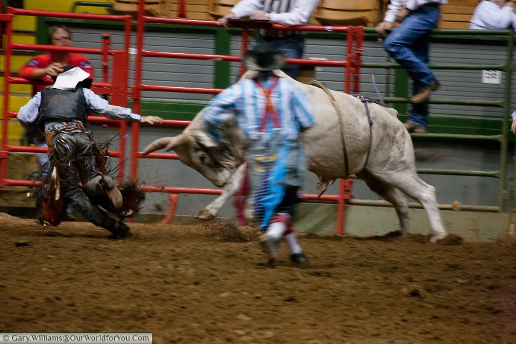 Being charged down at the Stockyards Championship Rodeo, Fort Worth, Texas