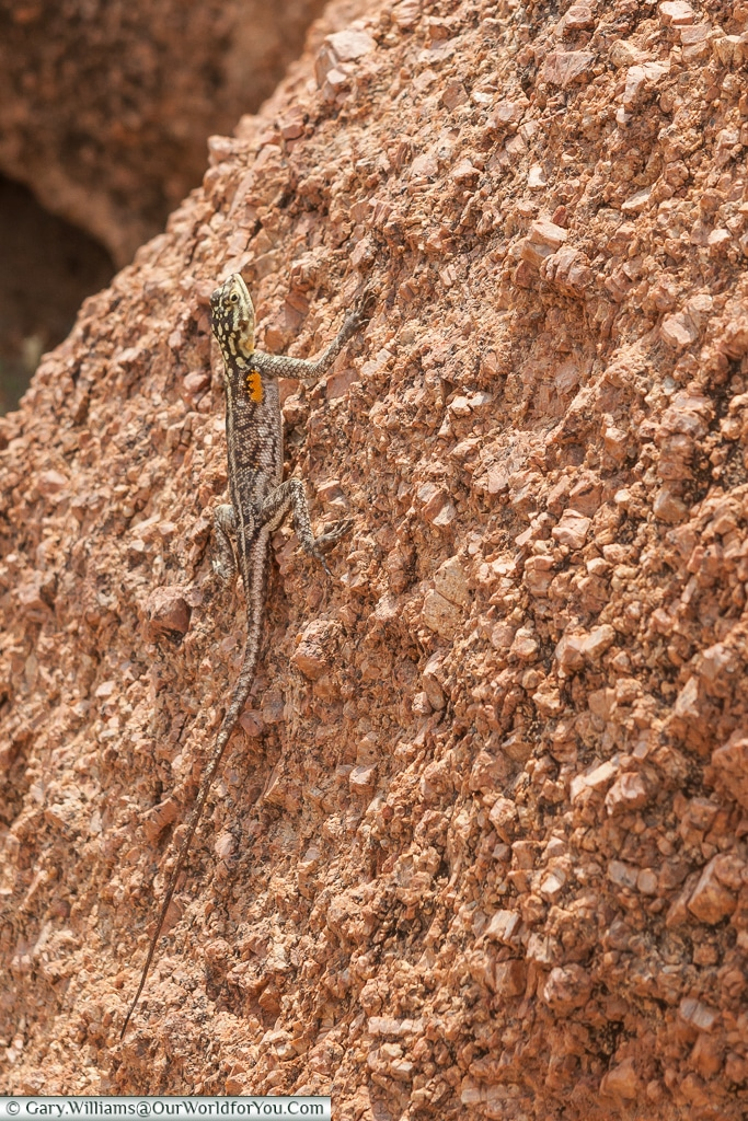 Look carefully for the lizard at Camp Kipwe, Twyfelfontein, Namiba