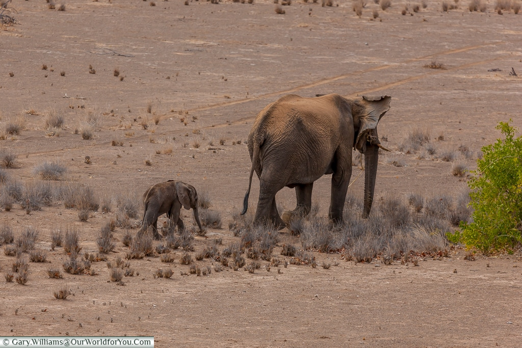 Wandering on, desert elephants, Kunene Region, Namibia