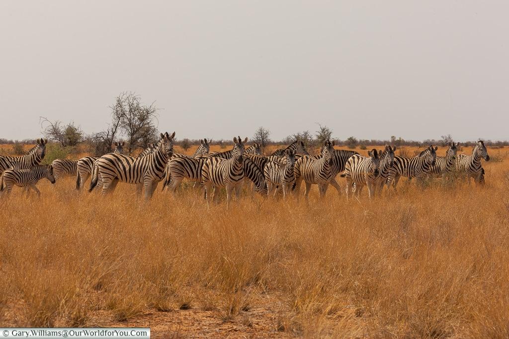 A herd of plains zebra, Etosha, Namibia
