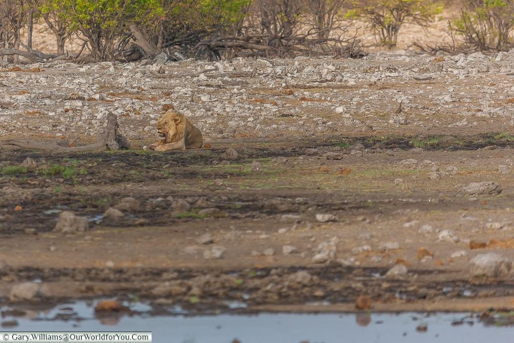 A lion at a distance, Etosha, Namibia