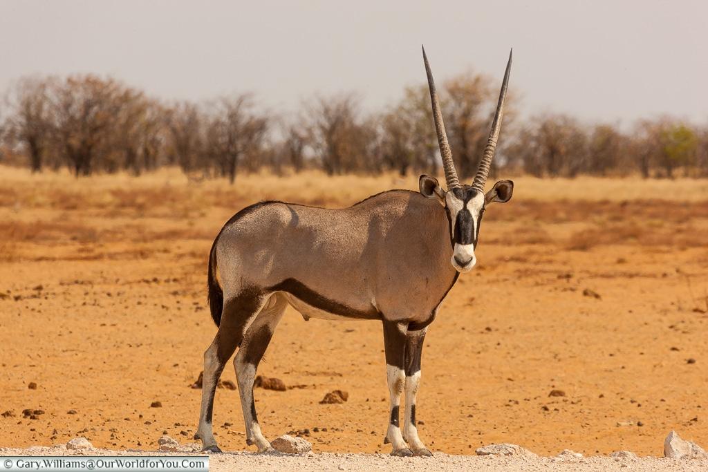 A lone oryx, Etosha, Namibia