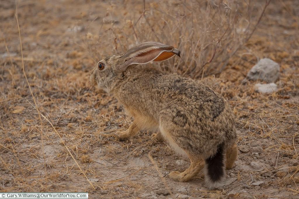 A scrub hare, Etosha, Namibia