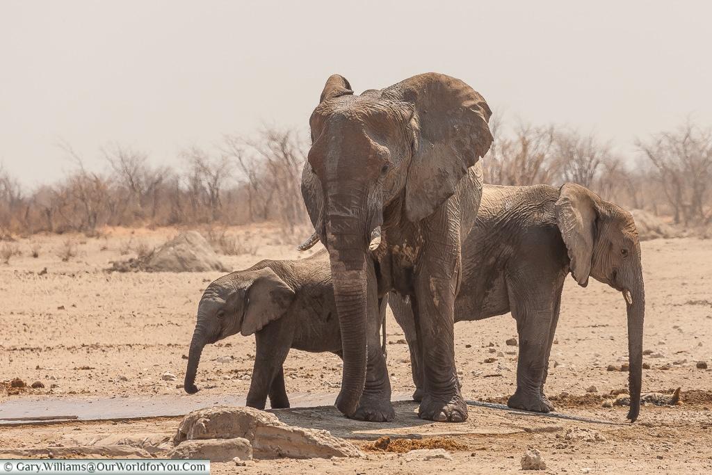 A small group of elephants, Etosha, Namibia