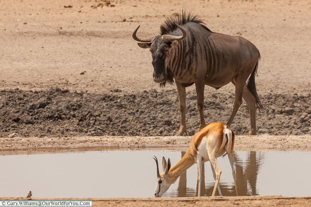 A wildebeest (or gnu), Etosha, Namibia