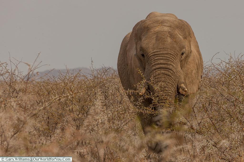 An elephant checking us out, Etosha, Namibia