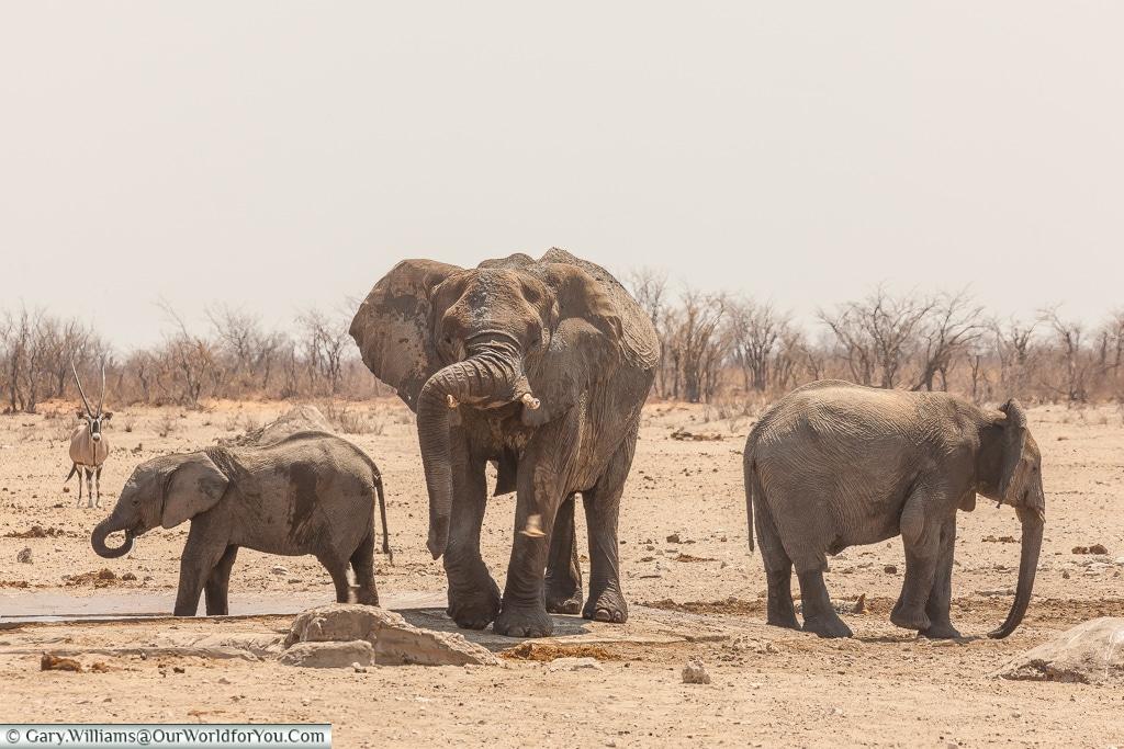 Resting the trunk, elephants at the watering hole, Etosha, Namiba