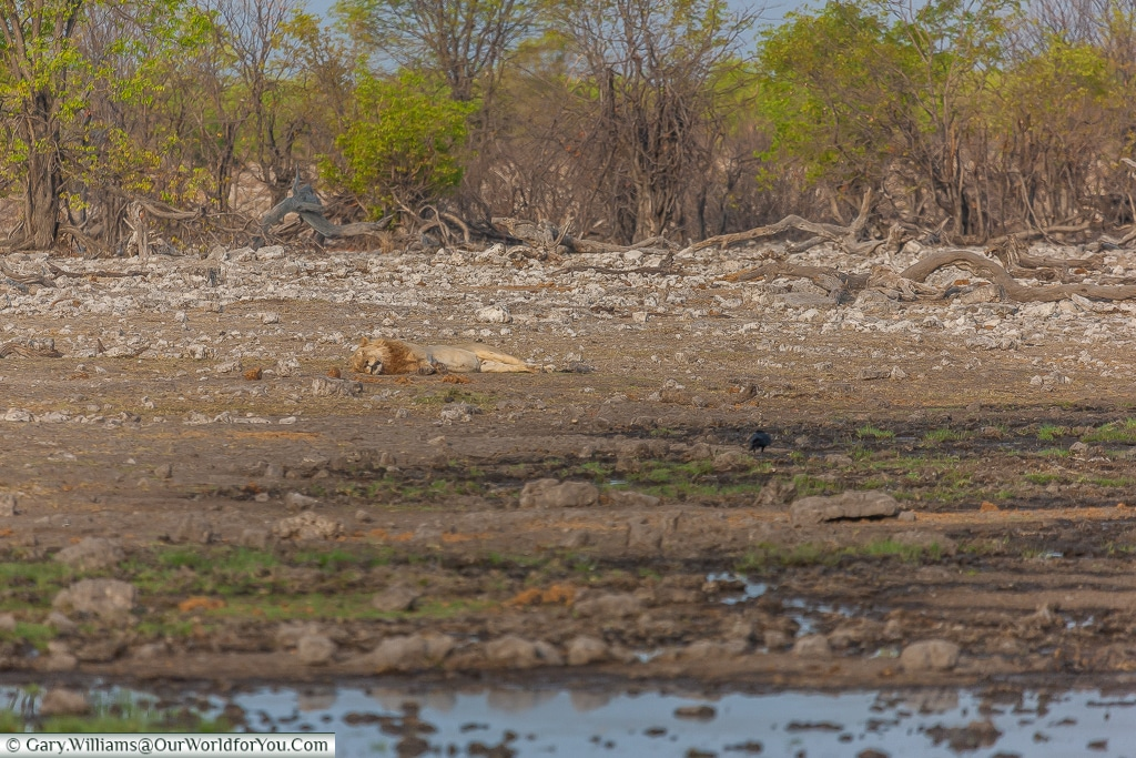 Sleeping lion, Etosha, Namibia