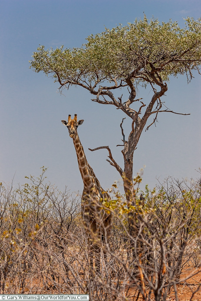 The giraffe & the tree, Etosha National Park, Namibia