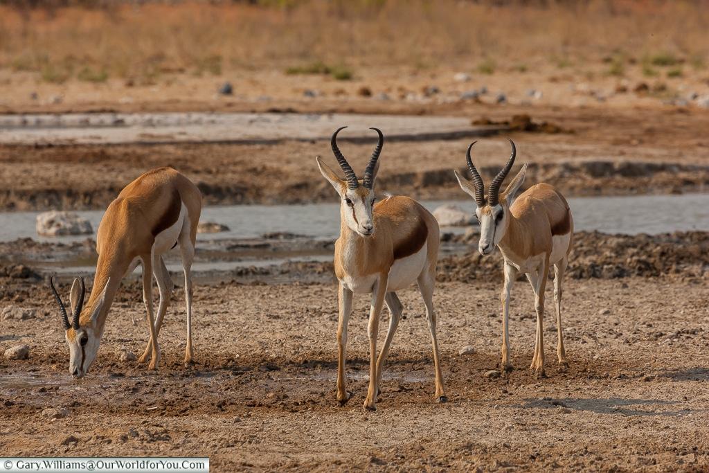 Three springbok by a watering hole, Etosha, Namibia