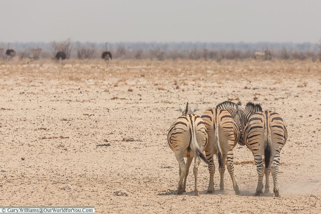 Zebras sharing a joke, Etosha, Namibia