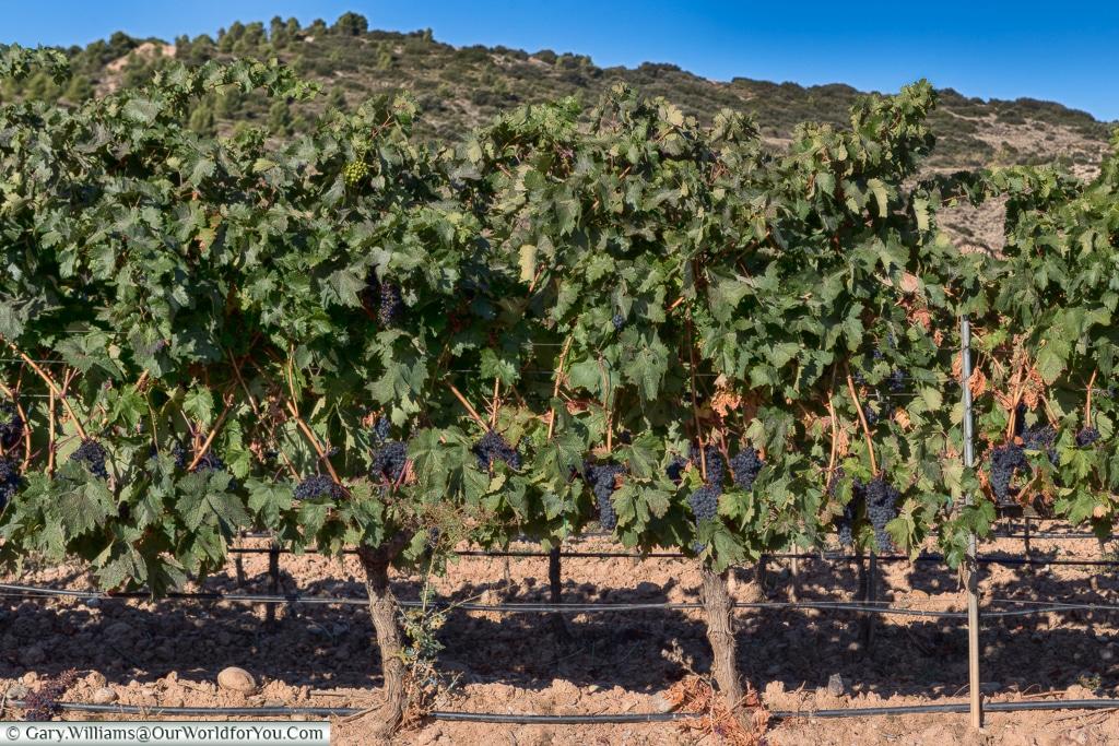 La Rioja vines, Logroño, Spain